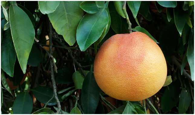 20HealthiestFoodsonEarthgrapefruit1
