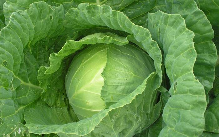 What Can Cabbage Leaves Heal?