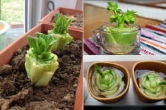 8 Vegetables You Buy Once And Regrow Forever ! How To Grow Them? Here Are Some Full Tips!