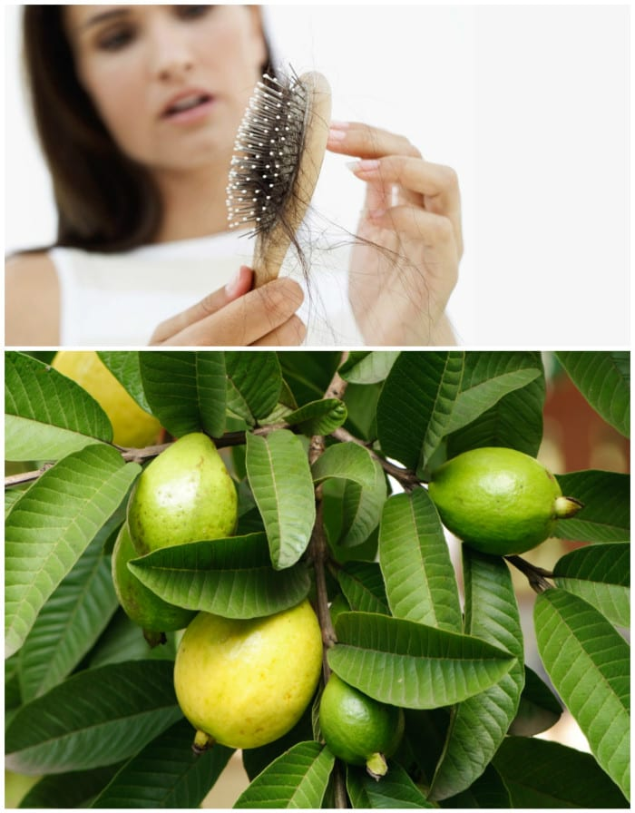 Guava Leaves Can Extremely 100% Stop – Your Hair loss and Make It Grow Like Crazy