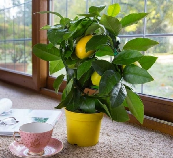 How to grow a lemon tree in a cup instiks for What does a lemon tree seedling look like
