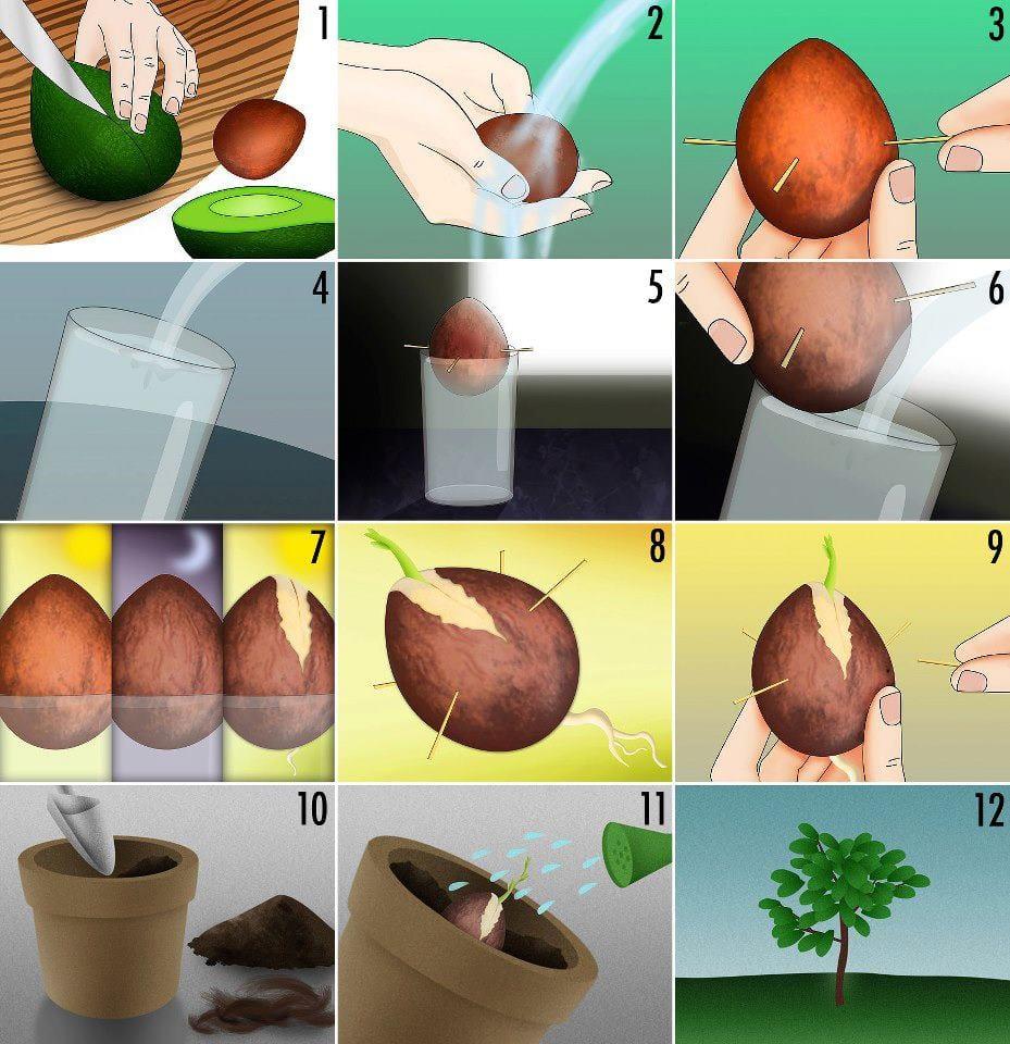 Авокадо как вырастить из косточки в домашних условиях пошагово