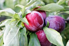 Plum – Powerful Multivitamin For Your Heart