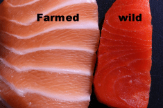 Farmed Salmon Is FULL Of Antibiotics And Mercury. Here's How To Tell If Your Salmon Is Safe!