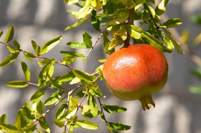How To Grow Pomegranate Tree In A Container