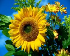 9 Amazing Sunflower Lecithin Benefits And Uses