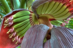 Healing Benefits Of The Banana Flower