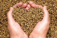 Hemp Seed Could Have Anti-Alzheimer's Benefits, Study Reveals