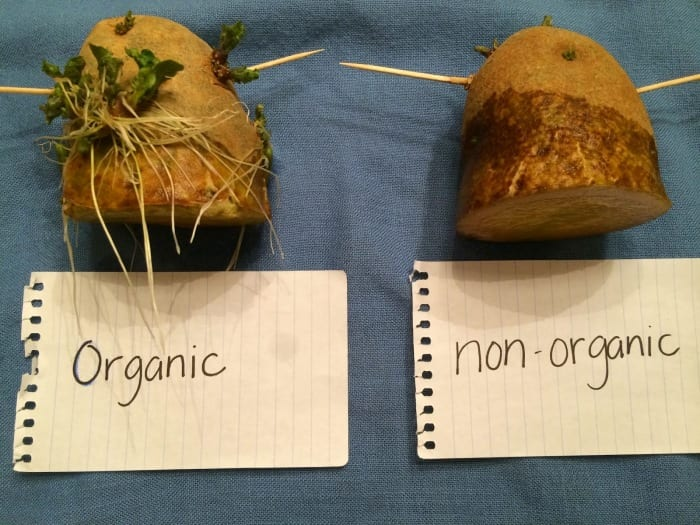 The Easiest Way to Grow Organic Potatoes in 4 Square Feet