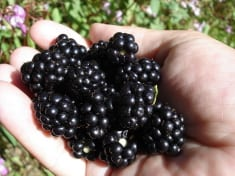 This Is How To Tell If Your Blackberries Are Actually Ripe