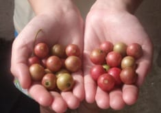 The Little Red Berry that Mexicans Use to Fight Cancer and Inflammation