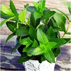 Bring Home Peppermint Plants and Say Goodbye to Spiders and Many Other Insects. Yes, it's also Cure