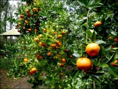How to Plant Hundreds of Tangerines in a Flowerpot and Never Buy Them Again