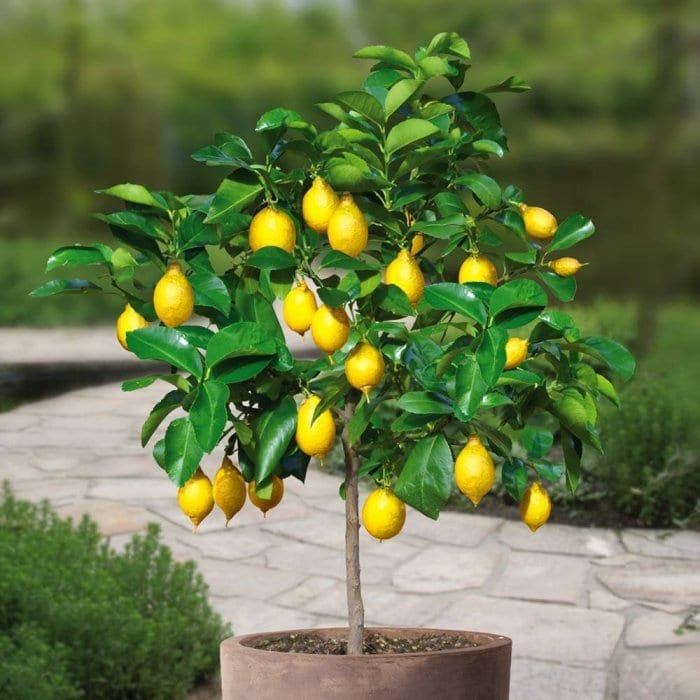 How To Grow An Unlimited Supply Of Lemons Using Just 1 Seed