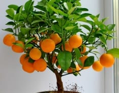 HOW TO GROW YOUR OWN TANGERINE TREE?