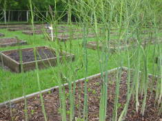 Learn How to Grow Endless Supply of Asparagus
