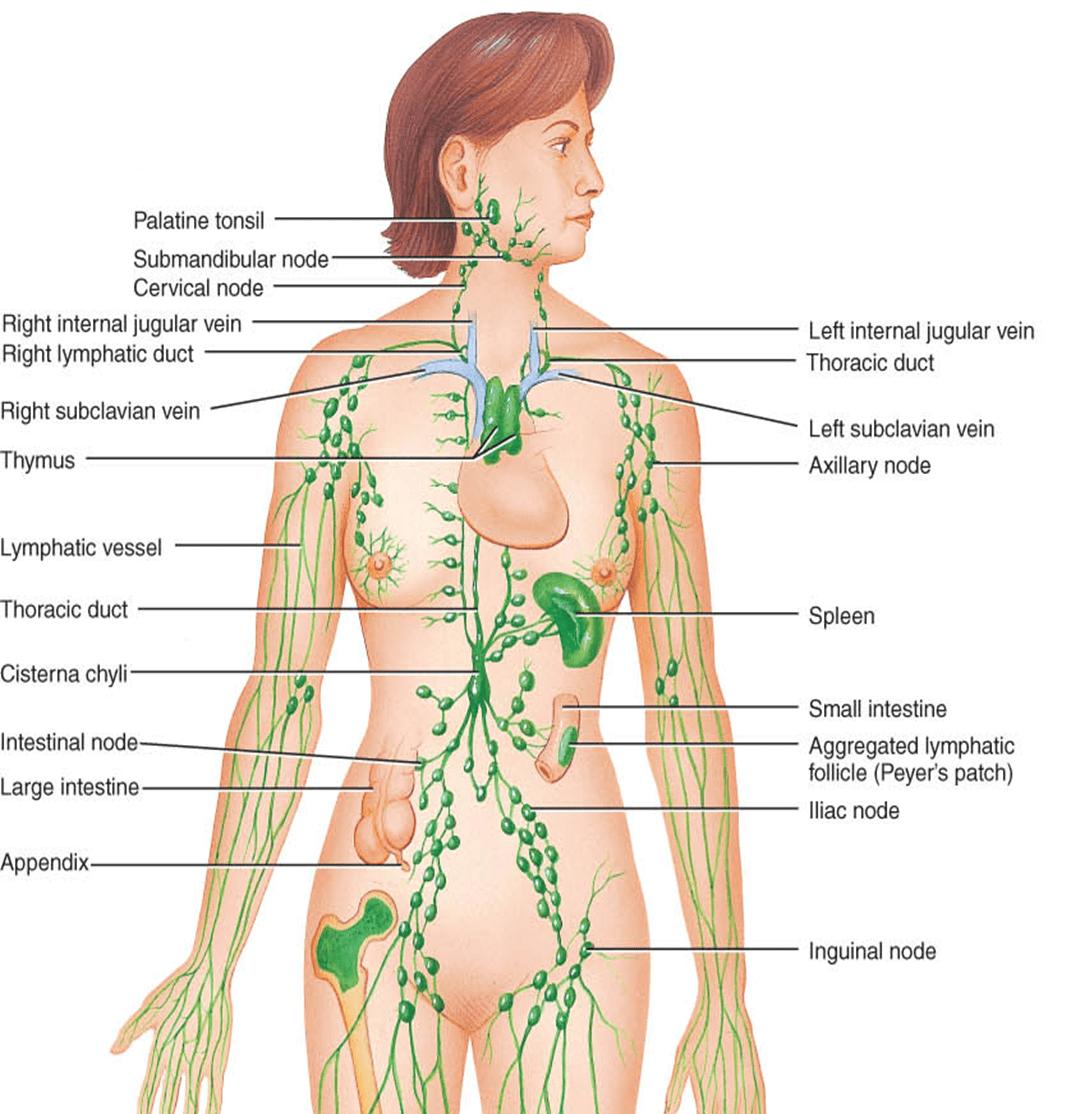 Лимфатические узлы в паху где находятся