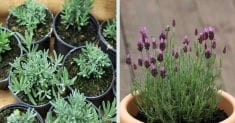 HOW TO GROW LAVENDER AT HOME TO RELIEVE STRESS AND ANXIETY