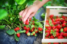 """A Dirty Little Secret: Your """"Organic"""" Strawberries Aren't Really Organic"""