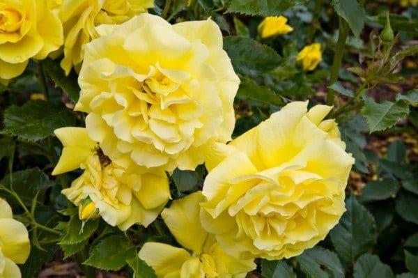 Yellow-Roses-600x399