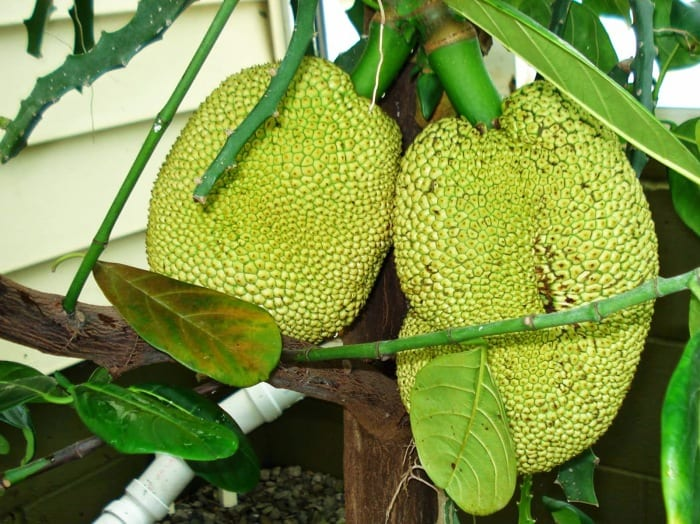 Growing jackfruits in containers (easy tips): Nature Bring