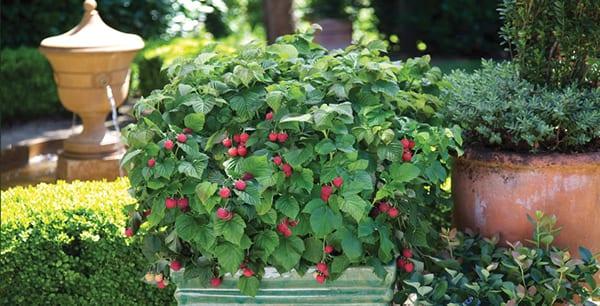 bb-raspberryshortcake-patio