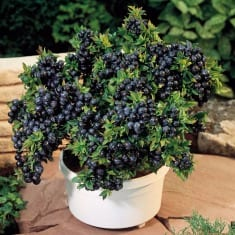 Growing Blueberries in container