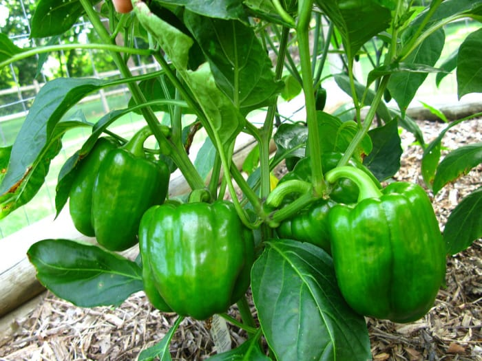 How to grow Bell pepper (easy tips) : Nature Bring
