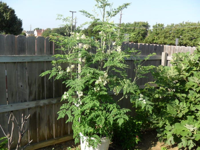 Growing Indian gooseberry tree in container.