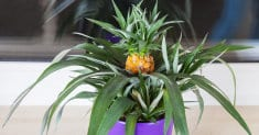 Growing pineapple plants in container (easy steps)
