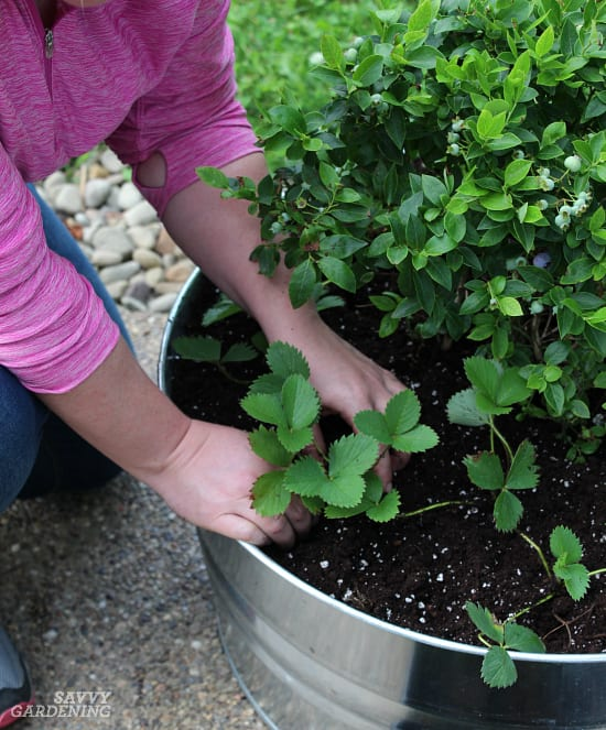 growing_blueberries_and-_strawberries_in_pots