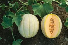 Amazing Health Benefits of Cantaloupe (Melon)