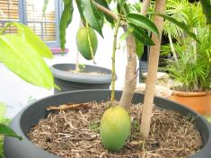 How to grow Mango trees in container. Easy tips.