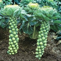 How to Grow Organic Brussels Sprouts in Your Garden