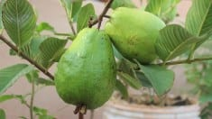 Growing Guava in container