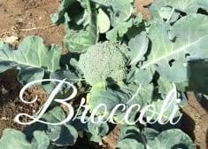 how to grow organic broccoli