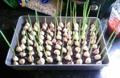 How to Grow Garlic in container