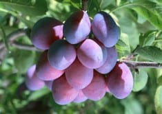 How to grow Plums Tree Easily in container