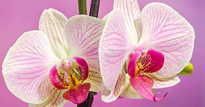 phalaenopsis-moth-orchid-12312015-1200x630