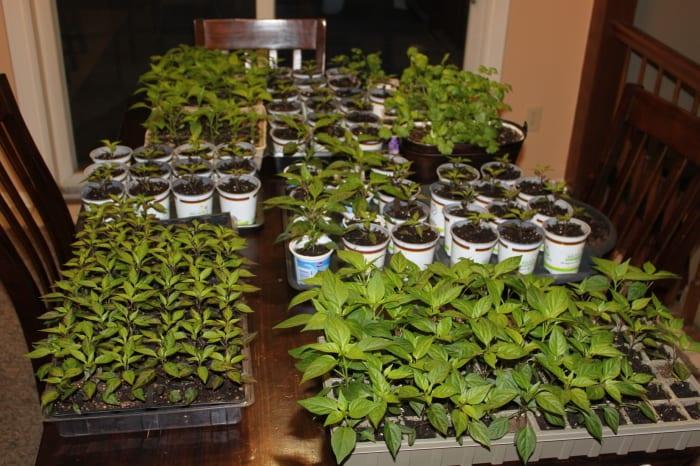 Grow Your Own Herbal Tea Garden: 12 Herbs To Get Your Started