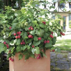 How to grow Raspberries in container.