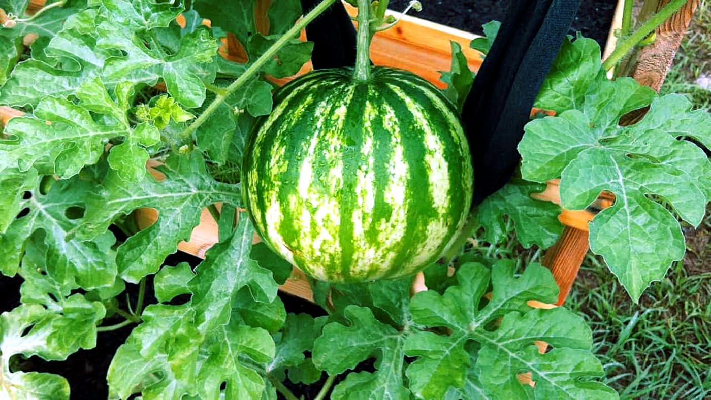 Watermelon growing in a container