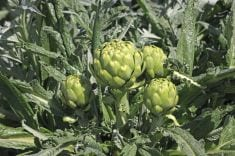 Tips for Growing Artichokes Just About Anywhere