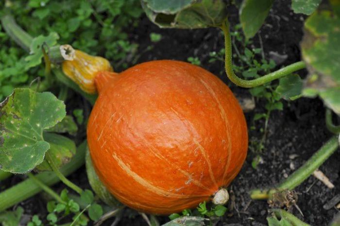 Grow Your Own Organic Pumpkins