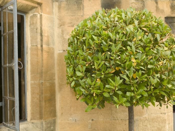 How to Grow Your Own Bay Tree