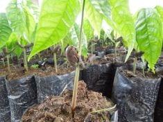 how to grow litchi tree