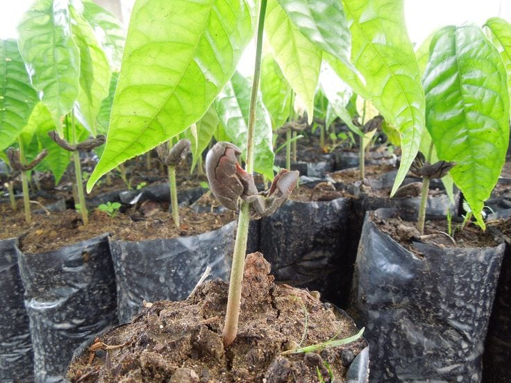 How to Grow Theobroma Cacao Indoors
