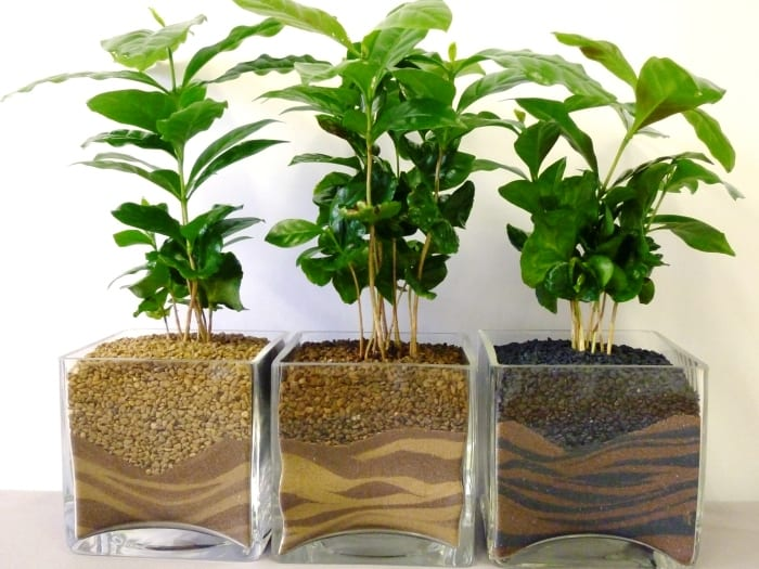 Growing Coffee Plants at Home