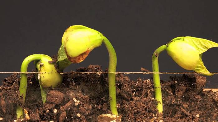 How to Grow Lima Beans
