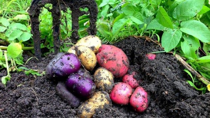 How to Grow Organic Potatoes in Your Garden